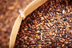 Grains of barley malt for beer production. Chocolate barley malt. Chocolate barley malt, used for the production of craft and home beer. Top view from above royalty free stock photos