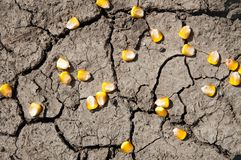 Grains of corn. Over cracked earth stock images