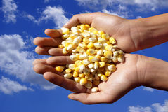 Grains of corn. A handful of grains of corn in open palms Royalty Free Stock Photos