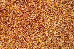 Grains of corn. Harvest of corn`s grains stock photo