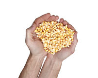 Grains of corn in his hands isolated Stock Photos