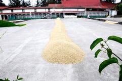 Grains de café de séchage au soleil Photo stock