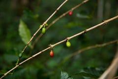 Grains de café et x28 ; organic& x29 ; sur des branches Photographie stock libre de droits