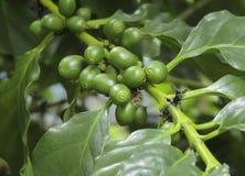 Grains de café frais Photo libre de droits