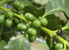 Grains de café frais Photos libres de droits
