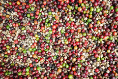 Grains de café frais et organiques, fond coloré stupéfiant de grains de café Photos libres de droits