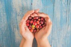 Grains de café frais, grains de café rouges à disposition Photo stock