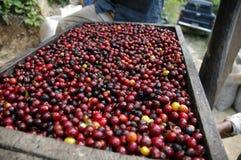 Grains de café Guatemala Photos libres de droits