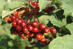 Grains de café mûrissant sur l'arbre image stock