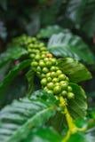 Grains de café non mûrs s'élevant sur la branche Foyer sélectif Photos libres de droits