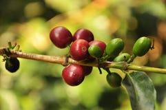 Grains de café rouges Images libres de droits