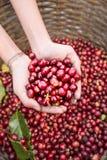 Grains de café rouges organiques de cerises dans des mains Photographie stock libre de droits