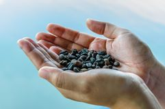 Grains de café secs dans des mains Photographie stock libre de droits