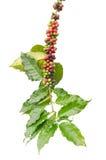 Grains de café sur des arbres photographie stock