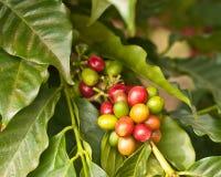 Grains de café sur l'arbre Image libre de droits