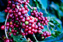 Grains de café sur l'arbre attendant le magasin pour faire une boisson Image stock
