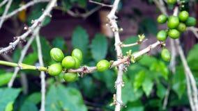 Grains de café sur la branche Images libres de droits