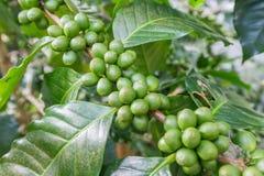 Grains de café sur la branche grains de café crus sur la plantation de caféier Grains de café crus frais de plan rapproché sur l' Photo libre de droits