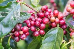 Grains de café sur la branche grains de café crus sur la plantation de caféier Grains de café crus frais de plan rapproché sur l' Images libres de droits