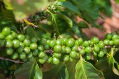 Grains de café toujours verts sur la branche à une ferme dans Kauai, Hawaï Images libres de droits