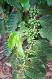 Grains de café toujours verts sur la branche à une ferme dans Kauai, Hawaï Images stock