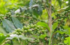 Grains de café verts images libres de droits