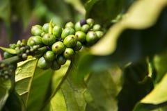 Grains de café verts, graine des baies de l'usine de Coffea, Vietnam Images libres de droits
