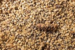 Grains de café verts moissonnés Photos libres de droits