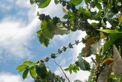 Grains de café verts s'élevant sur le branchement. Photographie stock libre de droits