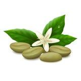 Grains de café verts sur le fond blanc Images libres de droits