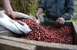 Grains de café Guatemala Photographie stock libre de droits