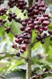 Grains de café sur l'arbre Photographie stock libre de droits