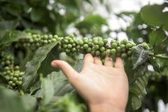 Grains de café verts s'élevant sur la branche Image stock