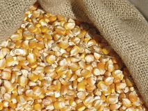 Grains de maïs Photo stock