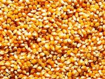 Grains de maïs Image stock