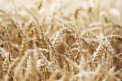 Grains de maïs avec le plan rapproché de gouttelette d'eau Images libres de droits