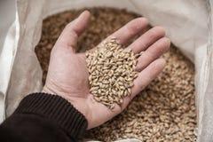 Grains de malt disponibles Images stock