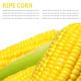 Grains de maïs mûr d'isolement sur un fond blanc Photos libres de droits