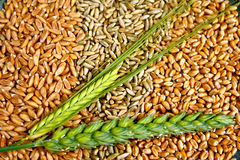 Grains and Ears. Pattern made of grains of wheat, rye and spelt with ears from wheat and barley Stock Image