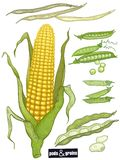 Grains et cosses réglés Images stock