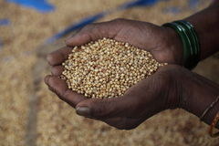 Grains in the hand of an old lady. Old lady's hands holding a handful of food grains Royalty Free Stock Photography