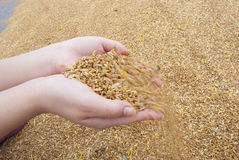 Grains. Heap of grains in hand Royalty Free Stock Images