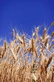 Grains mûrs de blé dans un domaine de ferme d'été Photographie stock