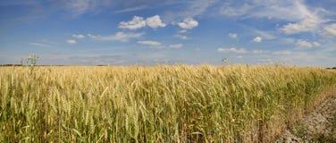 Grains mûrissant dans les domaines Images libres de droits
