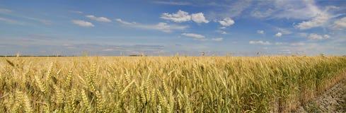 Grains mûrissant dans les domaines Photos libres de droits