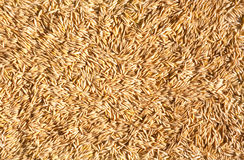 Grains of oat. Ripe grains of oat. Background from grain Royalty Free Stock Photos