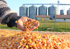 Grains récemment récoltés de maïs Images stock