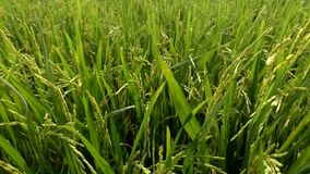 Grains of rice tilt in the breeze in the field stock video footage