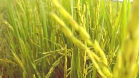 Grains of rice tilt in the breeze in the field stock footage