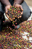 Grains of ripe coffee in the handbreadths of a person. East Africa. Coffee plantation.